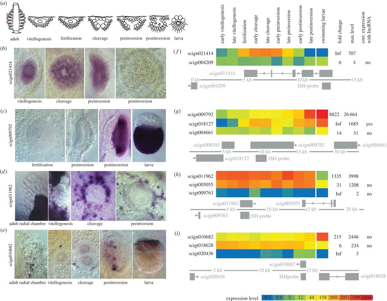 developmental lincRNA expression